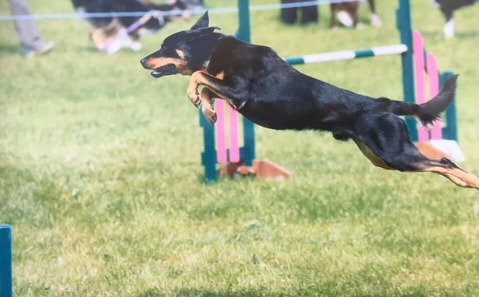 black dog leaping