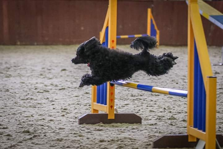 black poodle over jump