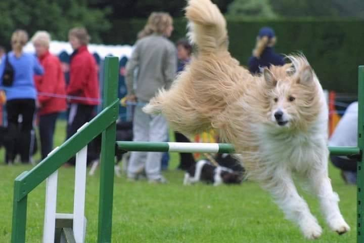 hairy dog over jump