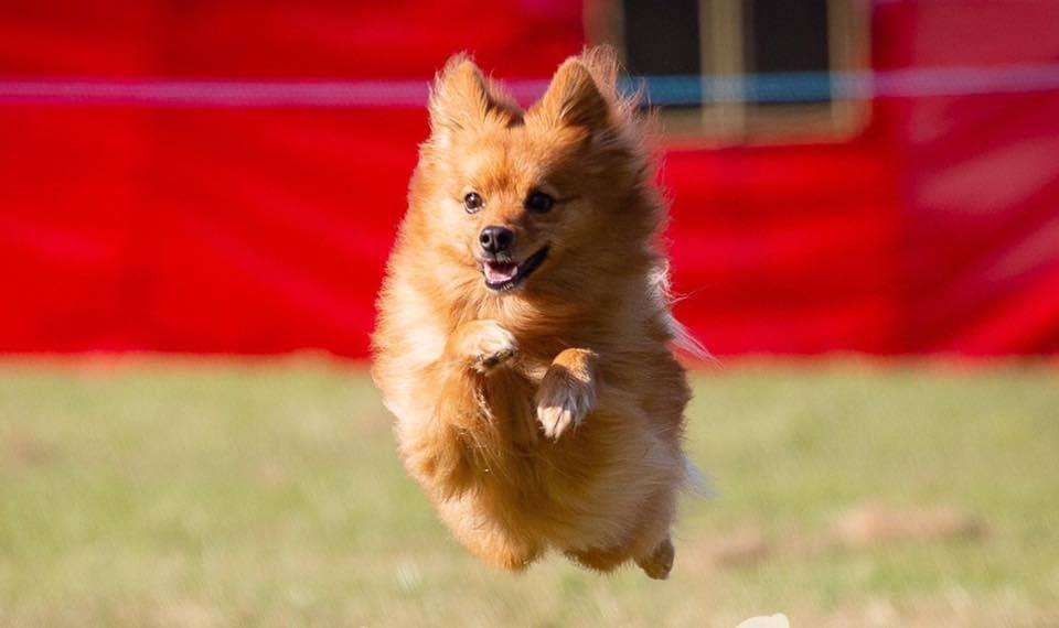 jumping orange dog