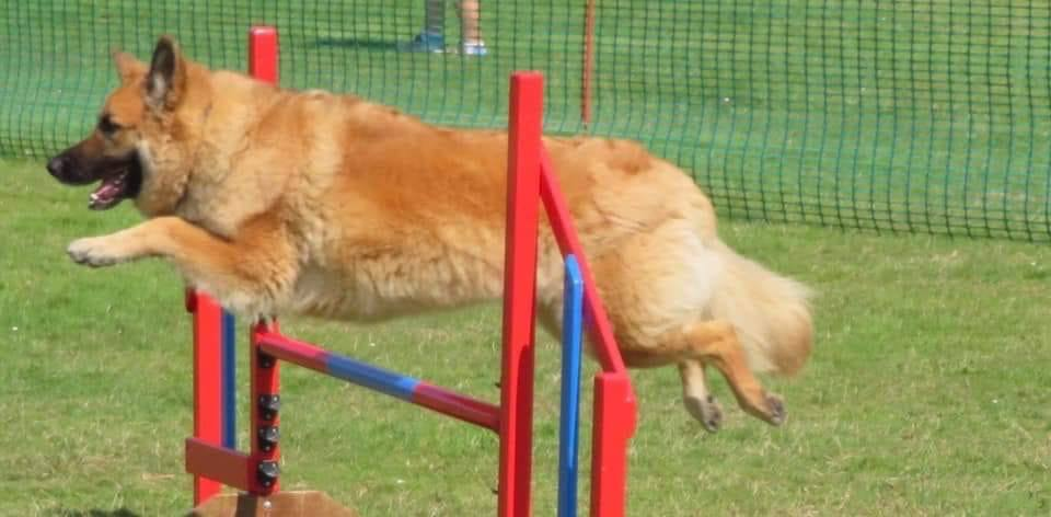 orange dog over red jump