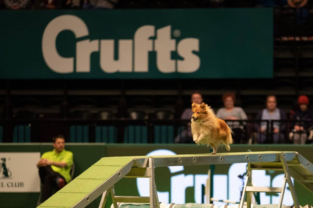small dog at crufts