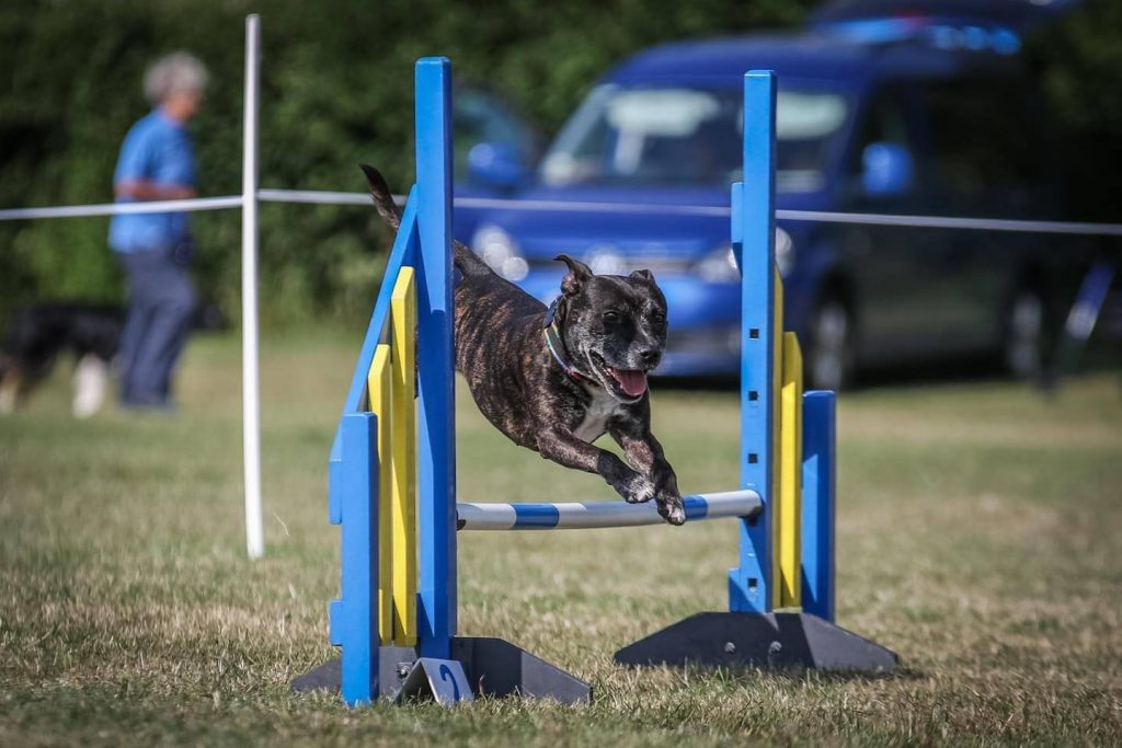 staffy over blue jump